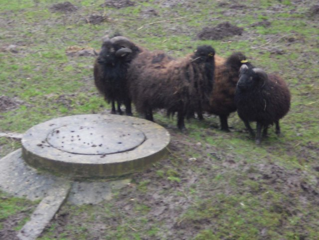 Treibjagd-Schafe